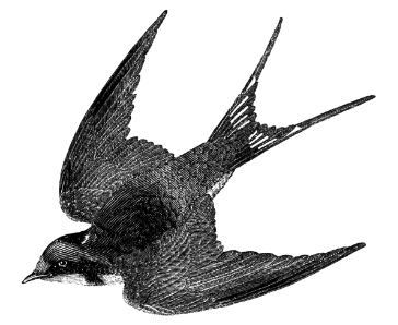 flying_barn_swallow